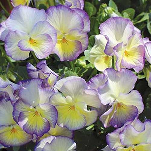 A close up of the yellow and purple flowers of the MagnifiScent 'Sweetheart' pansy growing in the garden in light sunshine with foliage in soft focus in the background.