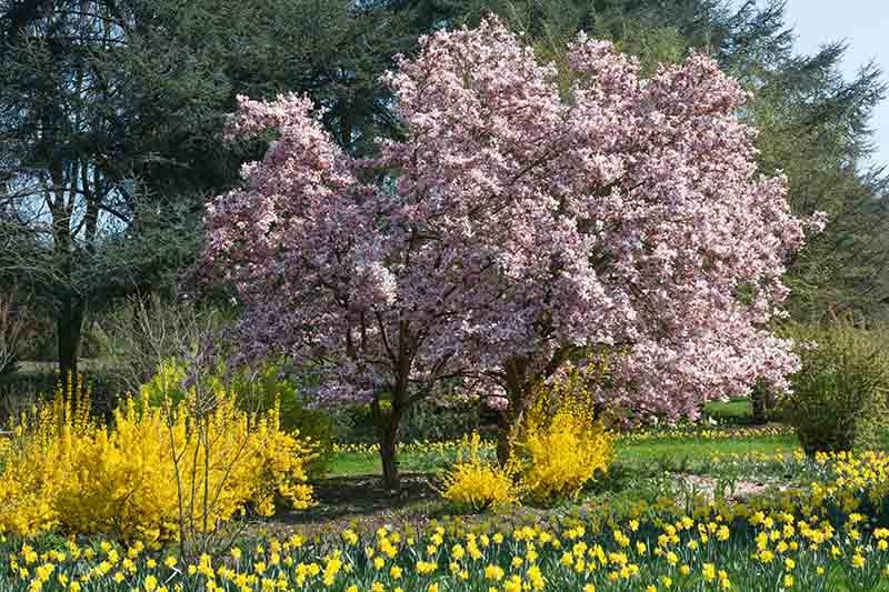 A spring garden scene with flowering magnolia trees and daffodils pictured in bright sunshine with trees in the background.