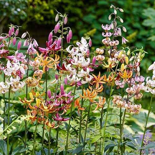 A mixture of different colored lily flowers planted next to each other in a garden, with trees in soft focus in the background.