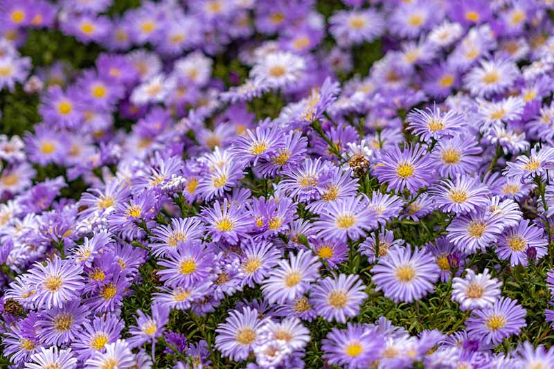 A close up of a mass planting of Symphyotrichum novae-angliae with purple flowers, fading to soft focus in the background.