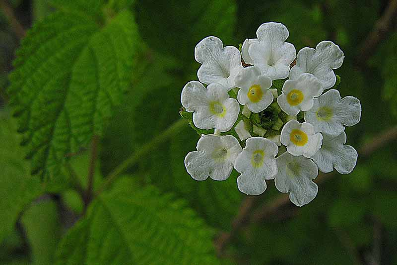 A close up of the tiny white flowers of Lippia graveolens with foliage in soft focus in the background.