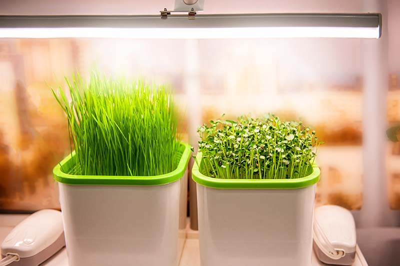 A close up of two pots of microgreens growing indoors under a lamp, on a soft focus background.