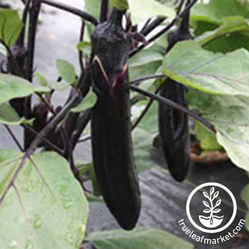 A close up of a ripe fruit of the 'Millionaire' eggplant hanging from the branch, surrounded by foliage on a soft focus background.