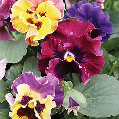 A close up of the ruffled petals of the 'Moulin Rouge' pansy with green foliage in the background.