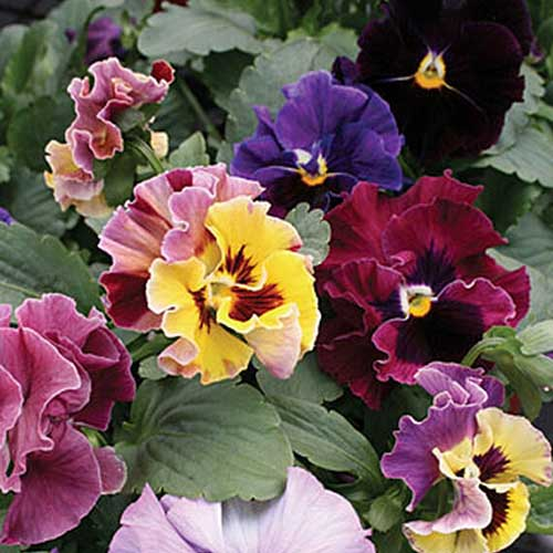 A close up of the multicolored, ruffled 'Moulin Rouge' pansies growing in the garden surrounded by green foliage.