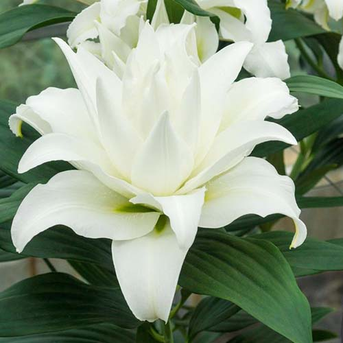 A close up of the unusual white flower of the 'My Wedding' variety of lily, pictured growing in the garden with green foliage in the background.