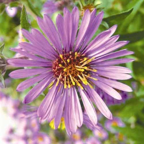 A close up of a light purple New England aster flower on a soft focus background.