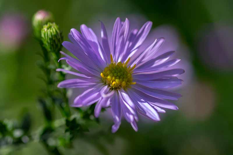 A close up of a light purple Symphyotrichum novae-angliae flower with a yellow center, on a green soft focus background.