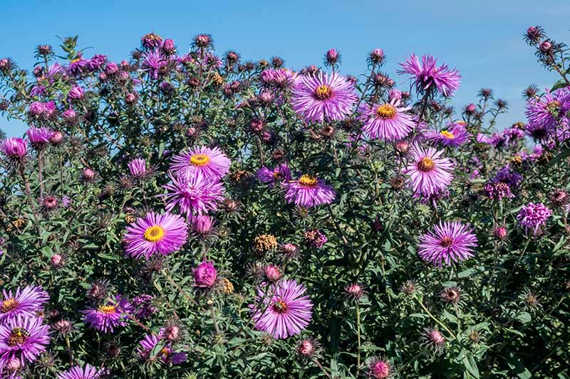 A close up of a large clump of Symphyotrichum novae-angliae with purple flowers growing in the garden in bright sunshine with blue sky in the background.