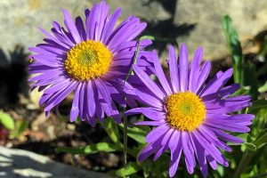 A close up of two purple flowers of the New England aster plant pictured in bright sunshine on a soft focus background.