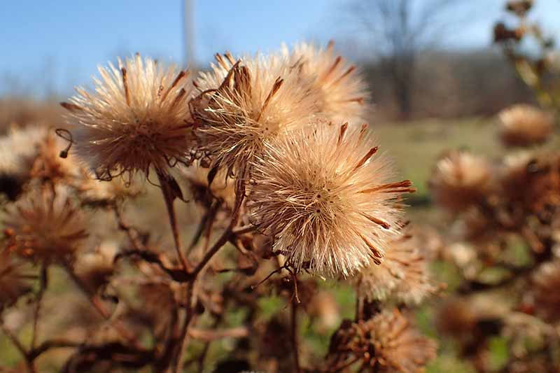 A close up of the seed heads of a New England aster plant in bright sunshine on a soft focus background.
