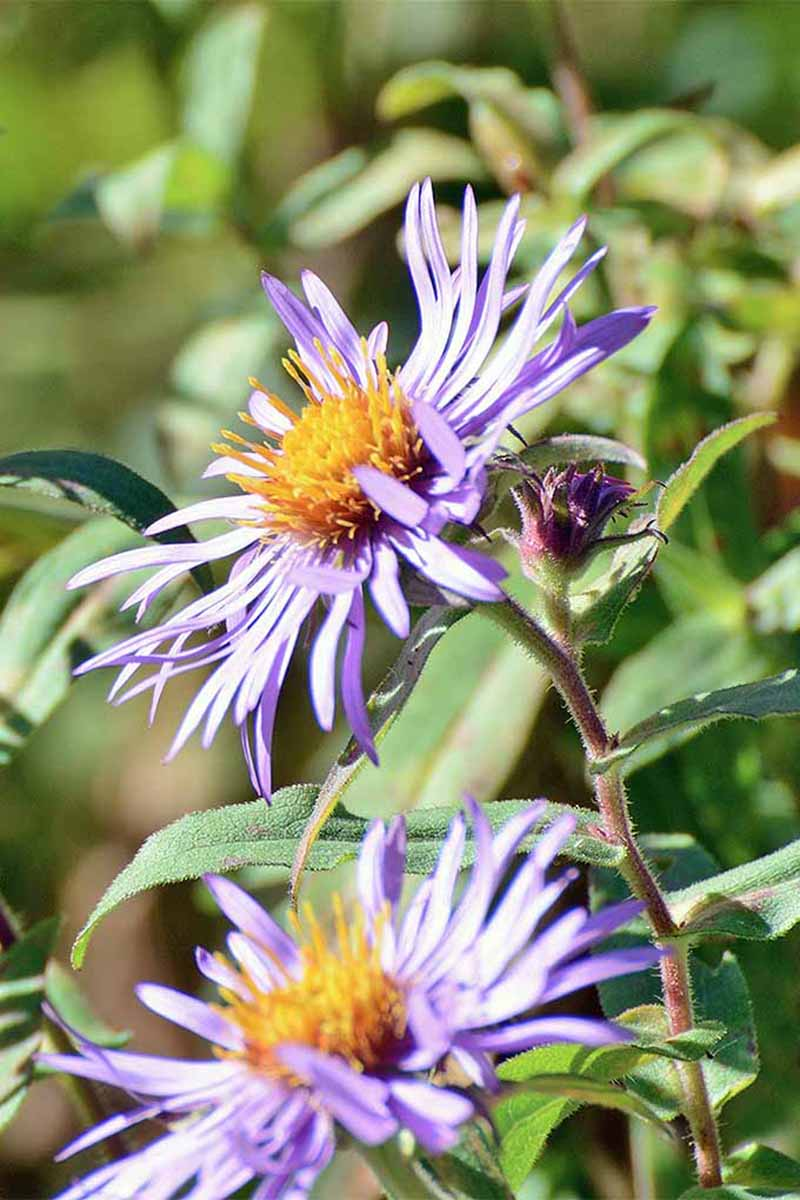 A vertical picture of the bright purple flowers of Symphyotrichum novae-angliae growing in the garden in bright sunshine.