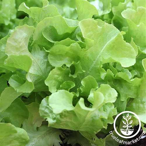 A close up of the light green tender leaves of the 'Oak Leaf' lettuce growing in the garden. To the bottom right of the frame is a white circular logo and text.