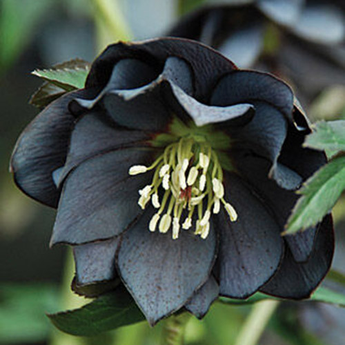 A close up of the 'Onyx Odyssey' variety flower, with deep purple, almost black sepals and white center, pictured on a soft focus background.