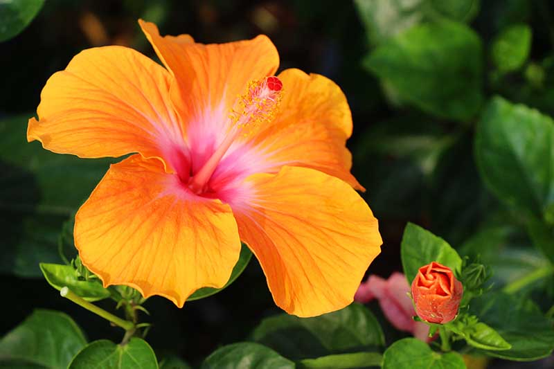 A close up of an orange hibiscus flower growing in the garden, surrounded by dark green foliage on a dark soft focus background.