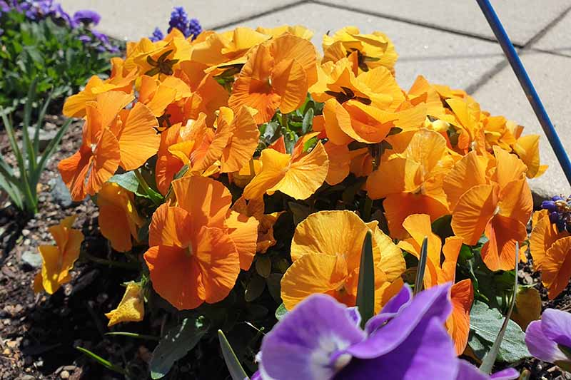 A close up of orange pansies growing in a garden container in the bright sunshine with a paved area in the background.