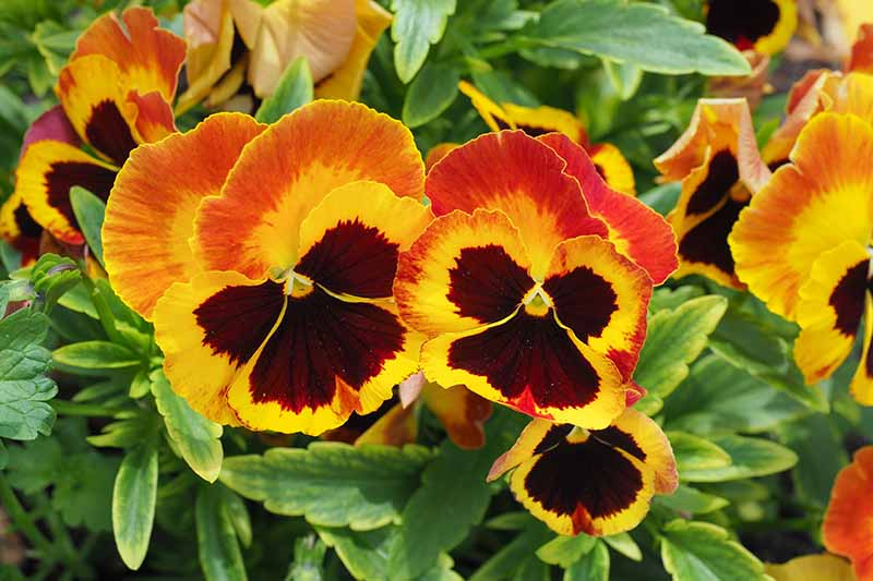 A close up of bright orange and red pansies growing in the garden with variegated foliage in soft focus in the background.