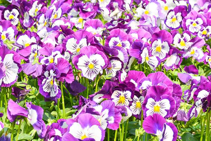 A close up of the various pink and purple shades of the 'Panola Pink Shades' pansies growing in the garden in bright sunshine.