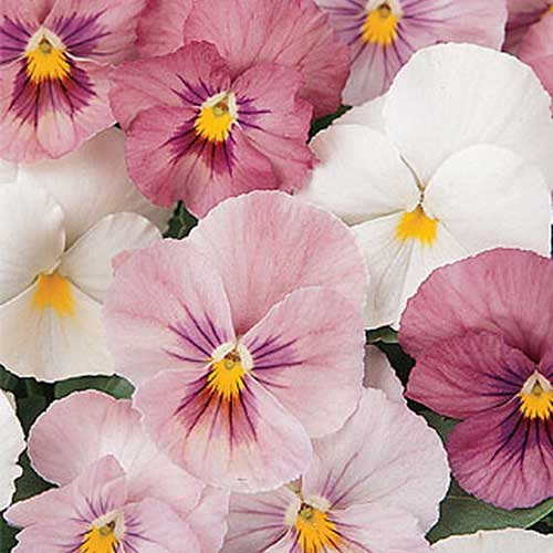 A close up of the 'Panola Pink Shades' flowers in white, light pink, and dark pink.