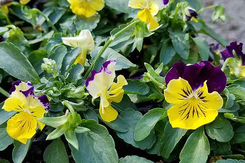A close up of the ColorMax pansies growing in the garden with small yellow and purple flowers surrounded by foliage.