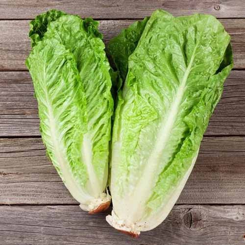 A close up of two 'Paris White' lettuces with light green leaves and classic romaine shape, set on a wooden surface.