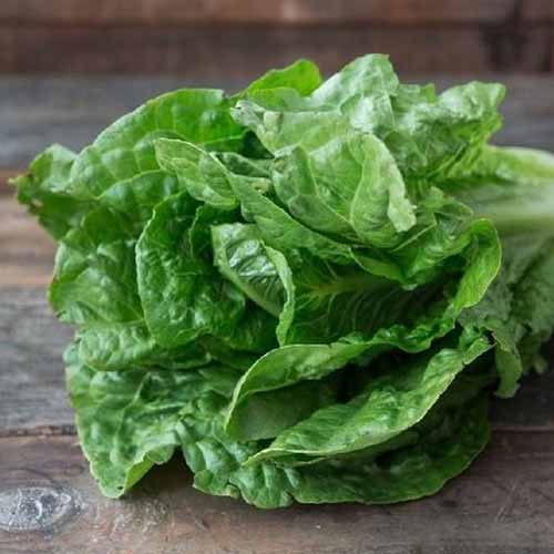 A close up of the 'Parris Island' romaine variety with light green leaves and white stems set on a wooden surface on a soft focus background.