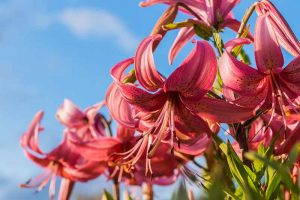 How to Plant and Grow Lilies