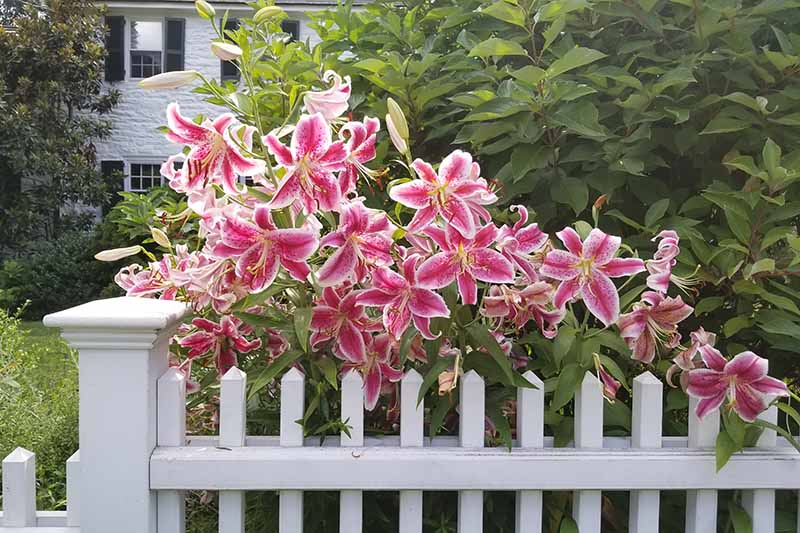 A spectacular display of pink and white lilies growing over a white wooden fence, contrasting with green foliage in the background.