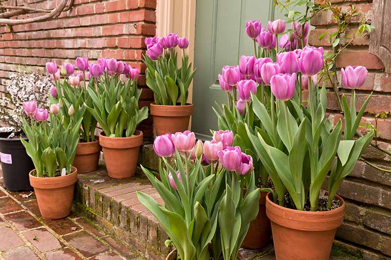 A front doorstep with terra cotta pots containing pink tulips set against a brick wall.