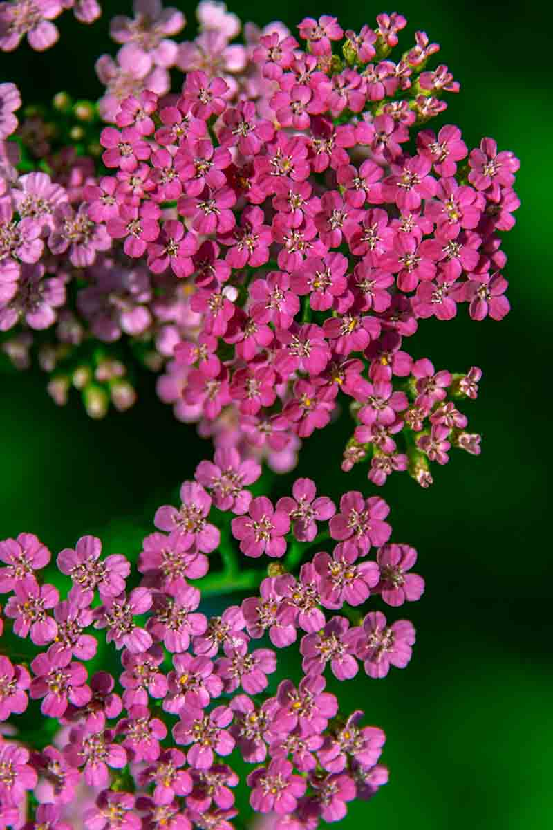 A vertical close up picture of pink Achillea millefolium flowers on a soft focus green background.