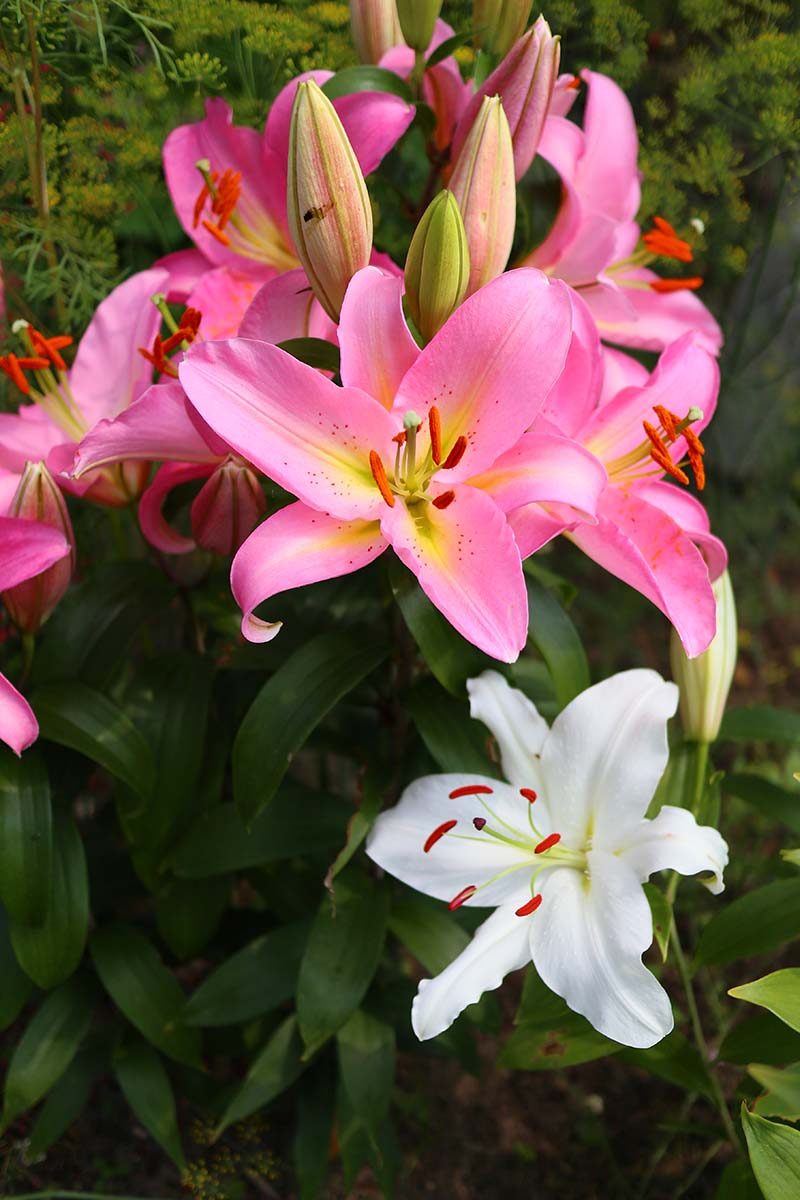 A vertical picture of a cluster of pink lilies growing in the garden with some blooms open and others still in bud, to the bottom of the frame is a white flower, set on a soft focus background, pictured in bright sunshine.