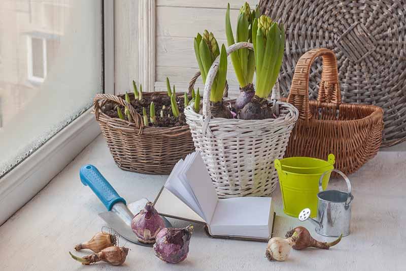 A close up of a windowsill containing wicker baskets with hyacinth bulbs. To the front of the baskets is an open notebook, a small hand trowel, some bulbs ready for planting, and a miniature watering can.