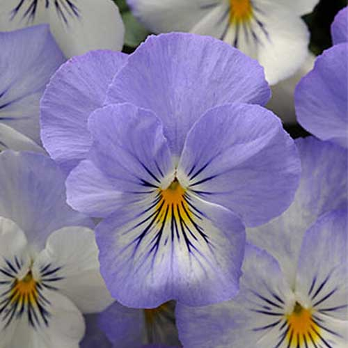 A close up of a light blue and white flower of the 'Plentifall Frost' viola on a soft focus background.