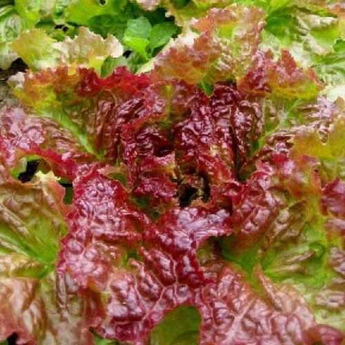 A top down close up of the 'Prizehead' variety of loose leaf lettuce with light green and burgundy frilly leaves pictured in light sunshine.