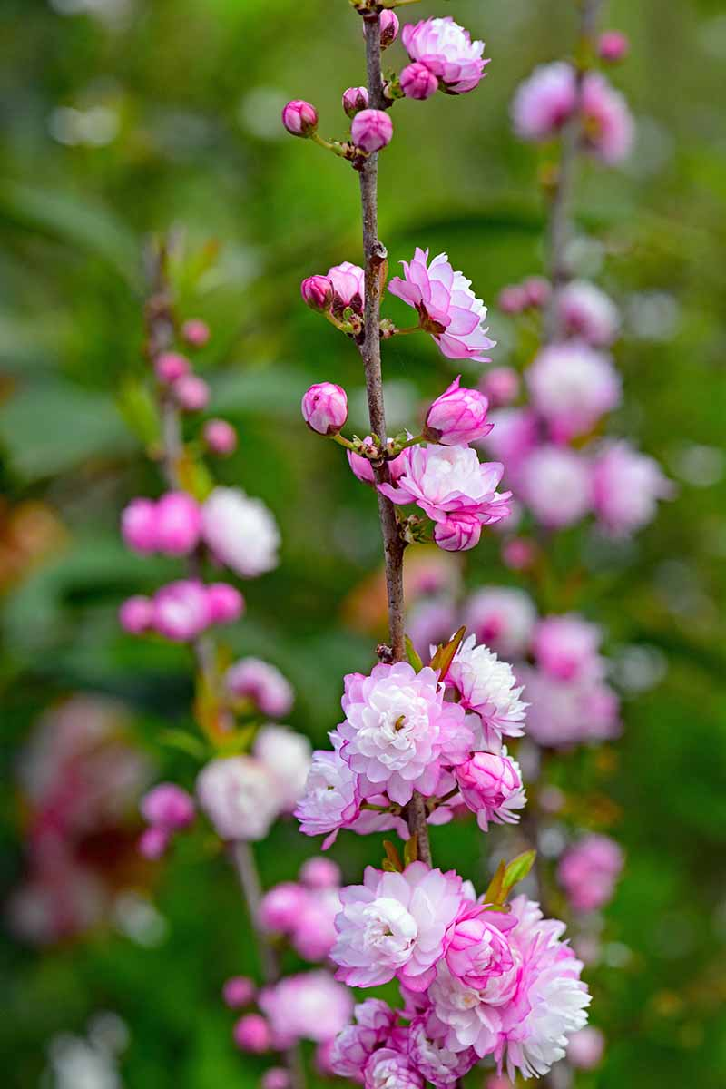 A close up vertical picture of the pink and white flowers of Prunus glandulosa, on a soft focus background.