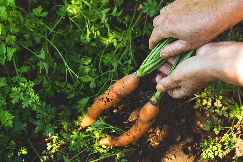 A close up of two hands from the right of the frame pulling carrots out of the ground, with green tops in the background.