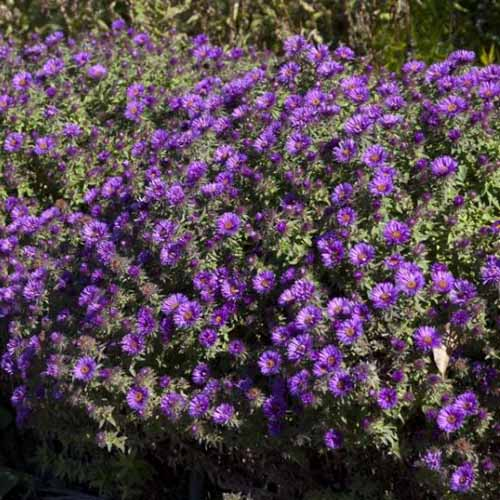 A clump of 'Purple Dome' New England aster flowers growing in the garden.