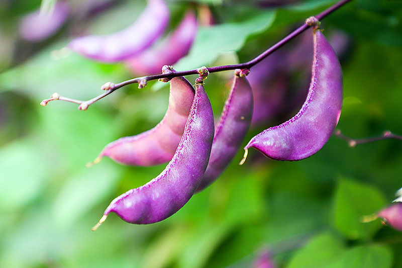 A close up of the seed pods of the Lablab purpureus vine growing on dark purple branches in light sunshine on a green soft focus background.