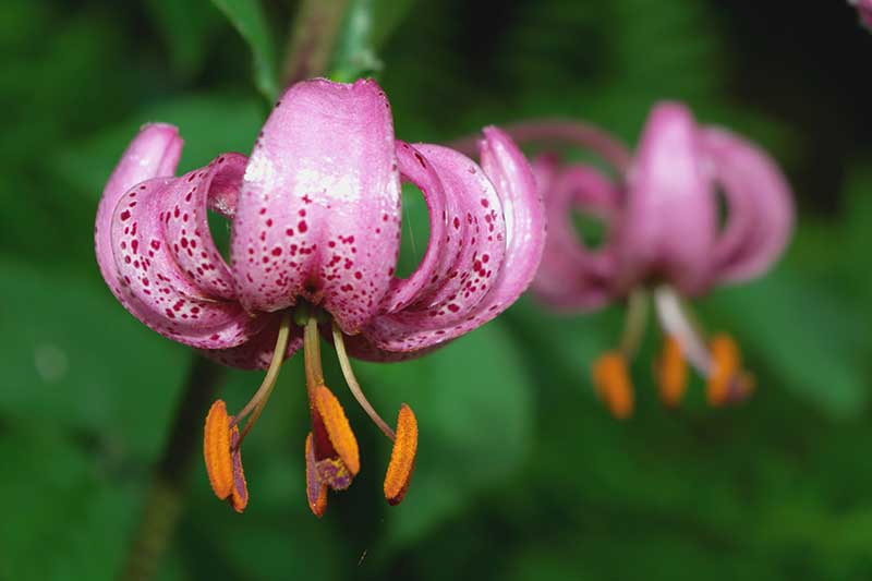"""A close up of a purple Martagon lily flower, with the characteristic """"Turk's cap"""" shape pictured on a green soft focus background."""