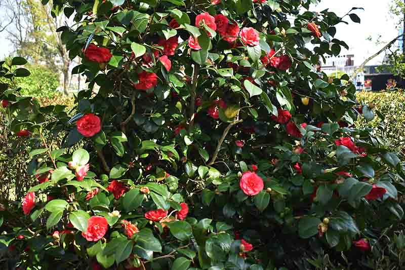 A garden scene with a large camellia bush with bright red flowers pictured in bright sunshine.