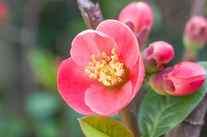 A close up of a red flowering quince bloom on a soft focus background.