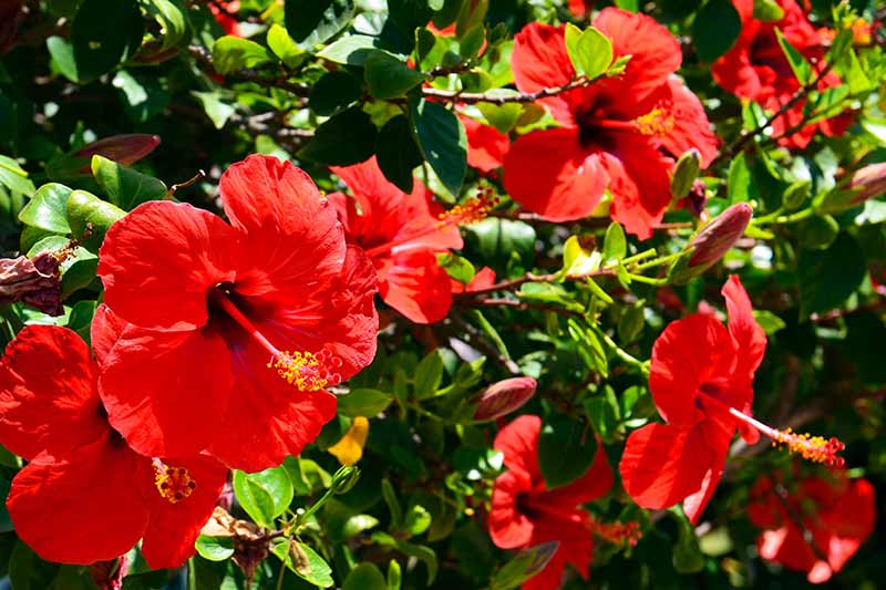 A close up of a tropical hibiscus shrub growing in the garden with bright red blooms in the sunshine fading to soft focus in the background.