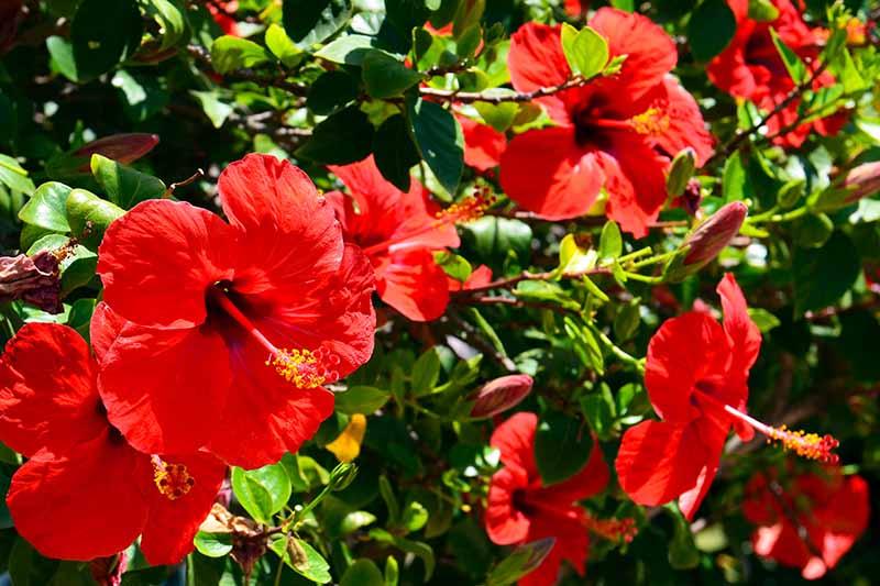 37 Of The Best Hibiscus Varieties