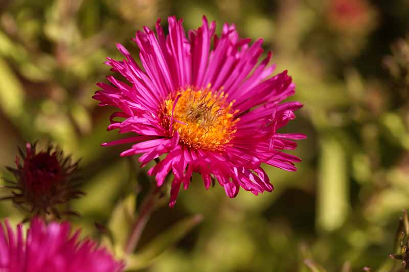 A close up of a bright red New England aster flower pictured in bright sunshine growing in the garden on a soft focus background.