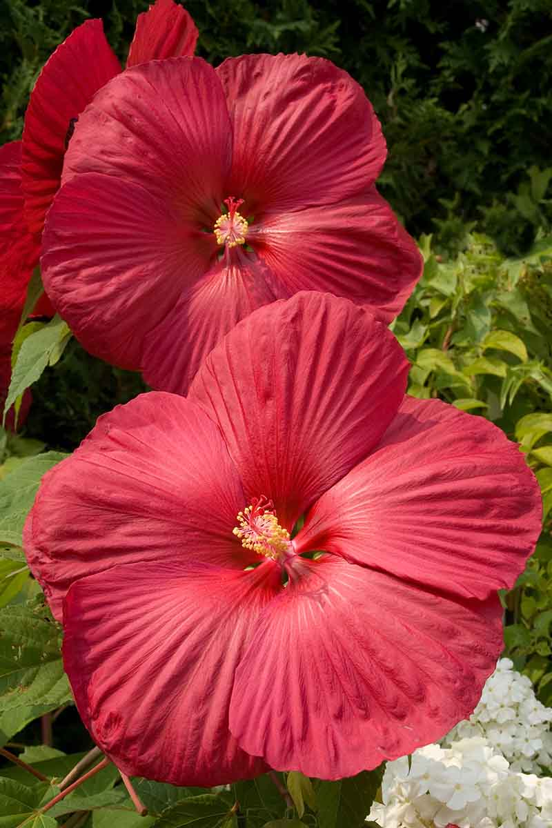 A vertical close up picture of bright red hibiscus flowers in light sunshine on a soft focus background.