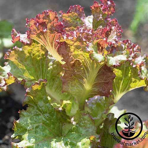 A close up of the red and green leaves of the 'Red Sails' lettuce variety growing in the garden in bright sunshine with a black circular logo and text to the bottom right of the frame. The background is soft focus.
