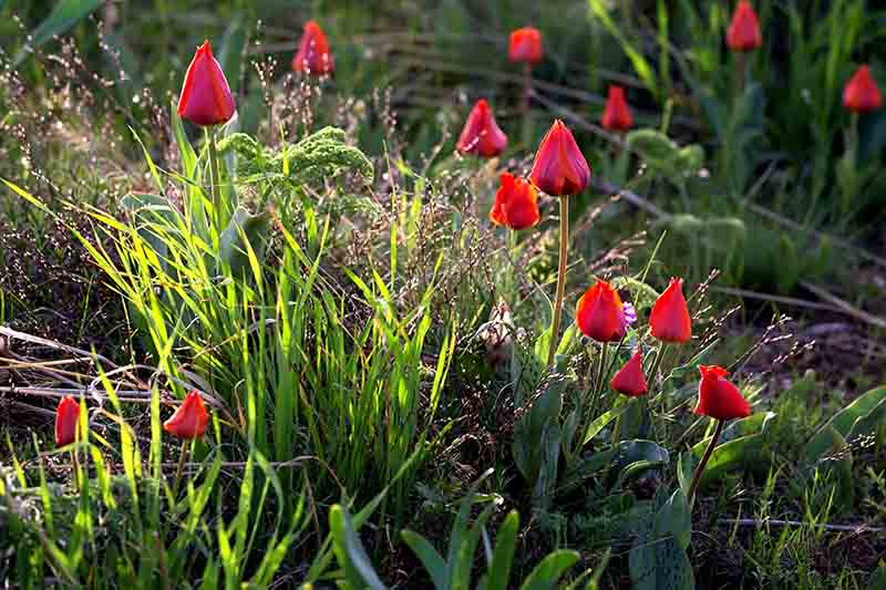 A close up of red tulip flowers growing in a spring garden in light sunshine, surrounded by greenery on a soft focus background.
