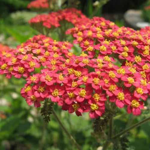 A close up of red flowers with yellow centers of the Achillea millefolium rubra plant growing in the garden on a soft focus background.