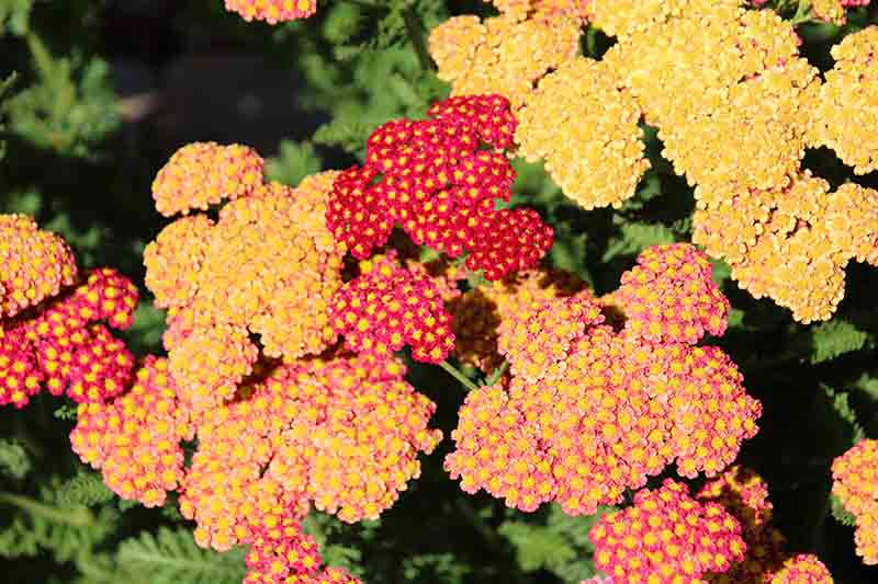 A close up of red and golden Achillea millefolium flowers growing in bright sunshine on a soft focus background.