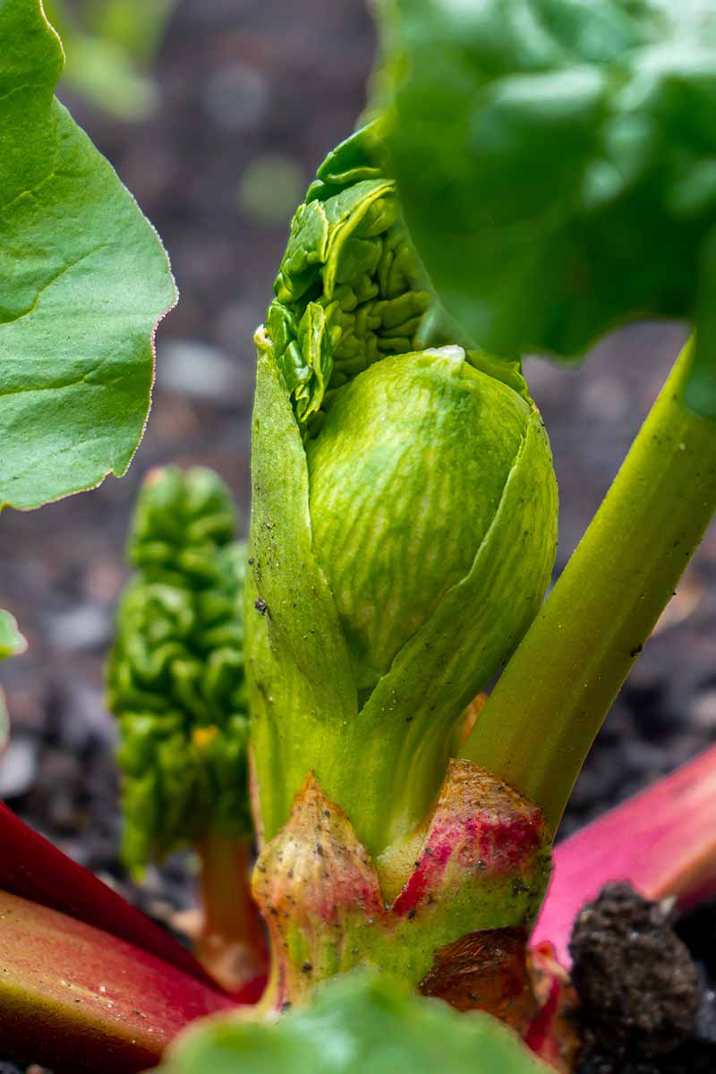 A close up vertical picture of a rhubarb crown growing in the garden in springtime, on a soft focus background.